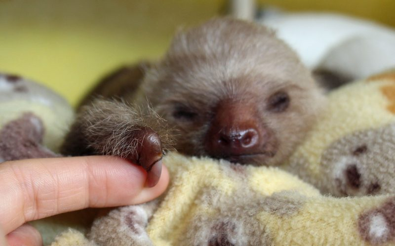Onesie, the baby sloth grabs onto a finger while napping