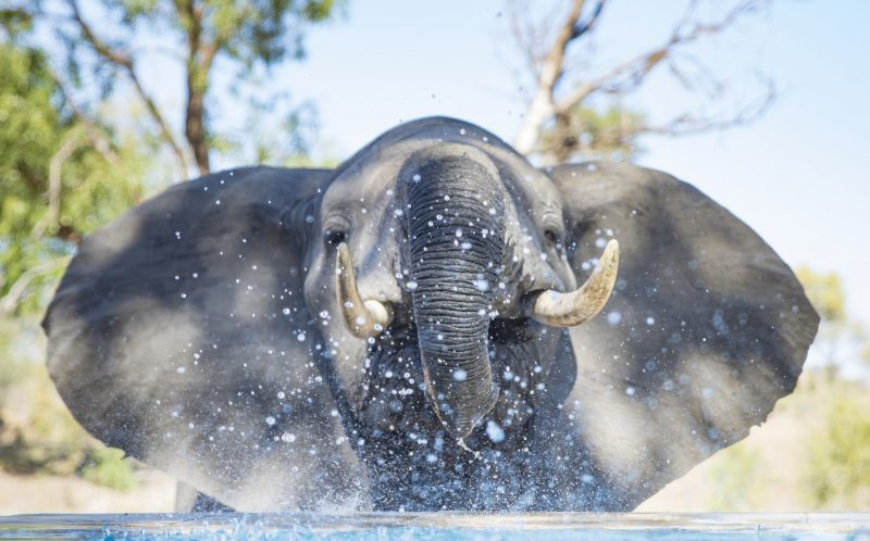 A baby elephant takes sips of water from a swimming pool