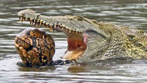 A crocodile decides to play ball with a turtle