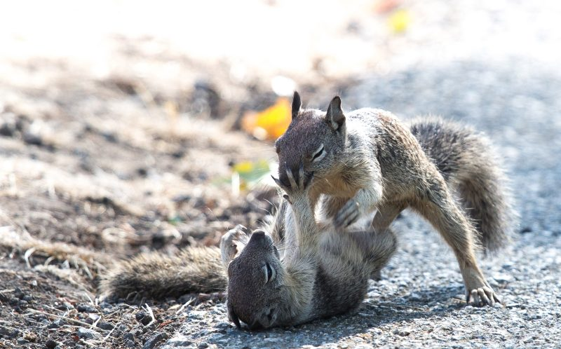 The squirrels are seen fighting with each other in a park