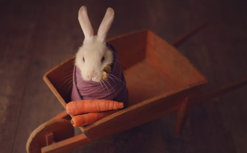 The tiny bunny in a wheelbarrow