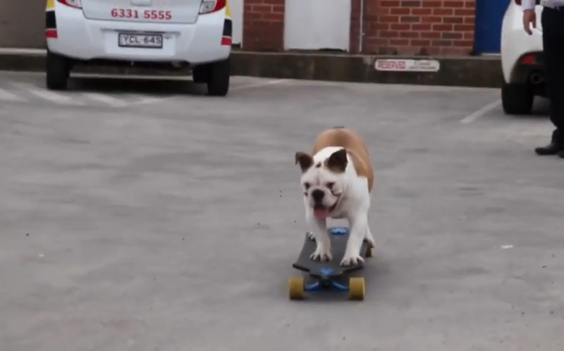 A British bulldog has become a sporting sensation showing off his incredible skills on a SKATEBOARD