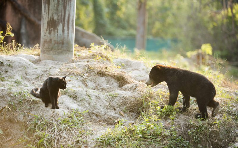 Bear cub Ka Wao approaches George the cat, in their enclosure in Thailand.