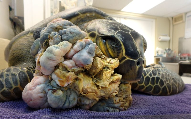 Chica, the sea turtle with a large tumour on her jaw