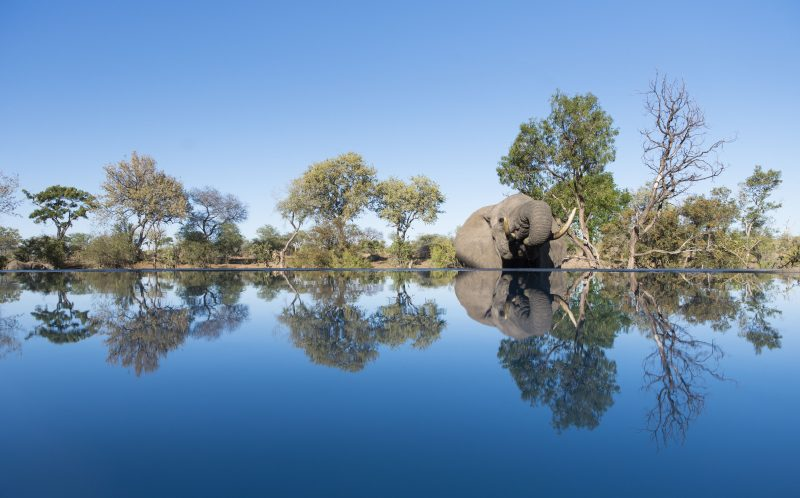 An elephant drinks from a simming pool