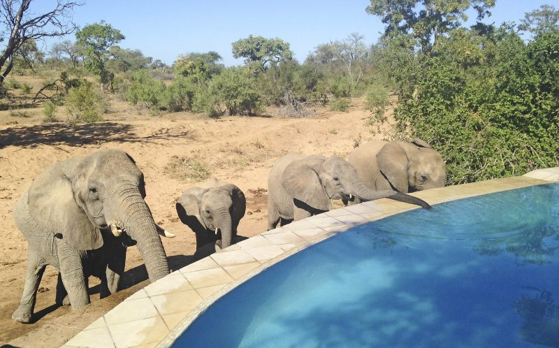 Elephants drink from a swimming pool