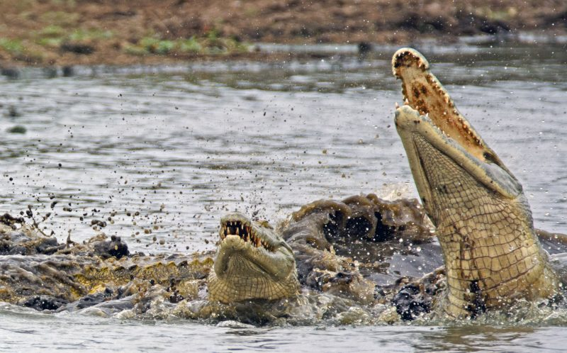 Two crocodiles decide to toy with their food