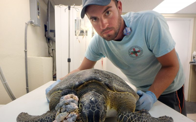 Matt Brochhausen and Chica, the sea turtle with a large tumour on her jaw