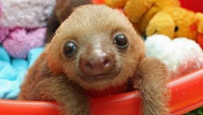 An adorable baby sloth taken in by the Sloth Sanctuary in Costa Rica