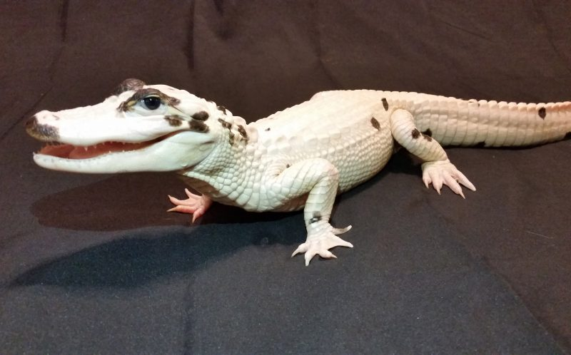 Snowball - 1 of only 11 known living leucistic Alligators worldwide