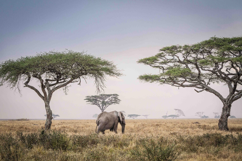 A gorgeous elephant stands in between some Umbrella Thorn trees.