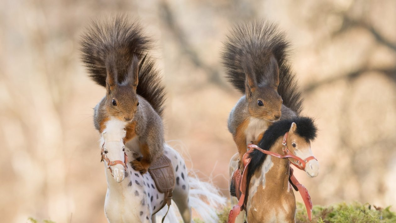 PIC BY GEERT WEGGEN/CATERS NEWS - (PICTURED: Red squirrels standing on horses.) - Theres neigh way thats possible! These cheeky squirrels have managed to display their prowess riding horses  although it might be a while before they move up a size. The critters were snapped posing on the toy horses by Geert Weggen, 48, a photographer and builder from Bispgarden, Sweden. The squirrels had been on the way to Geerts garden from a nearby forest in search of food when they happened upon the conveniently positioned toys and it wasnt long before they were horsing about. SEE CATERS COPY.