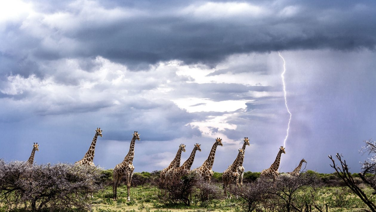 PIC BY JULIA SUNDUKOVA/CATERS NEWS: - A group of 10 giraffes were trotting across the African plane in the middle of an intense thunderstorm when the electric bolt shot out of the sky.