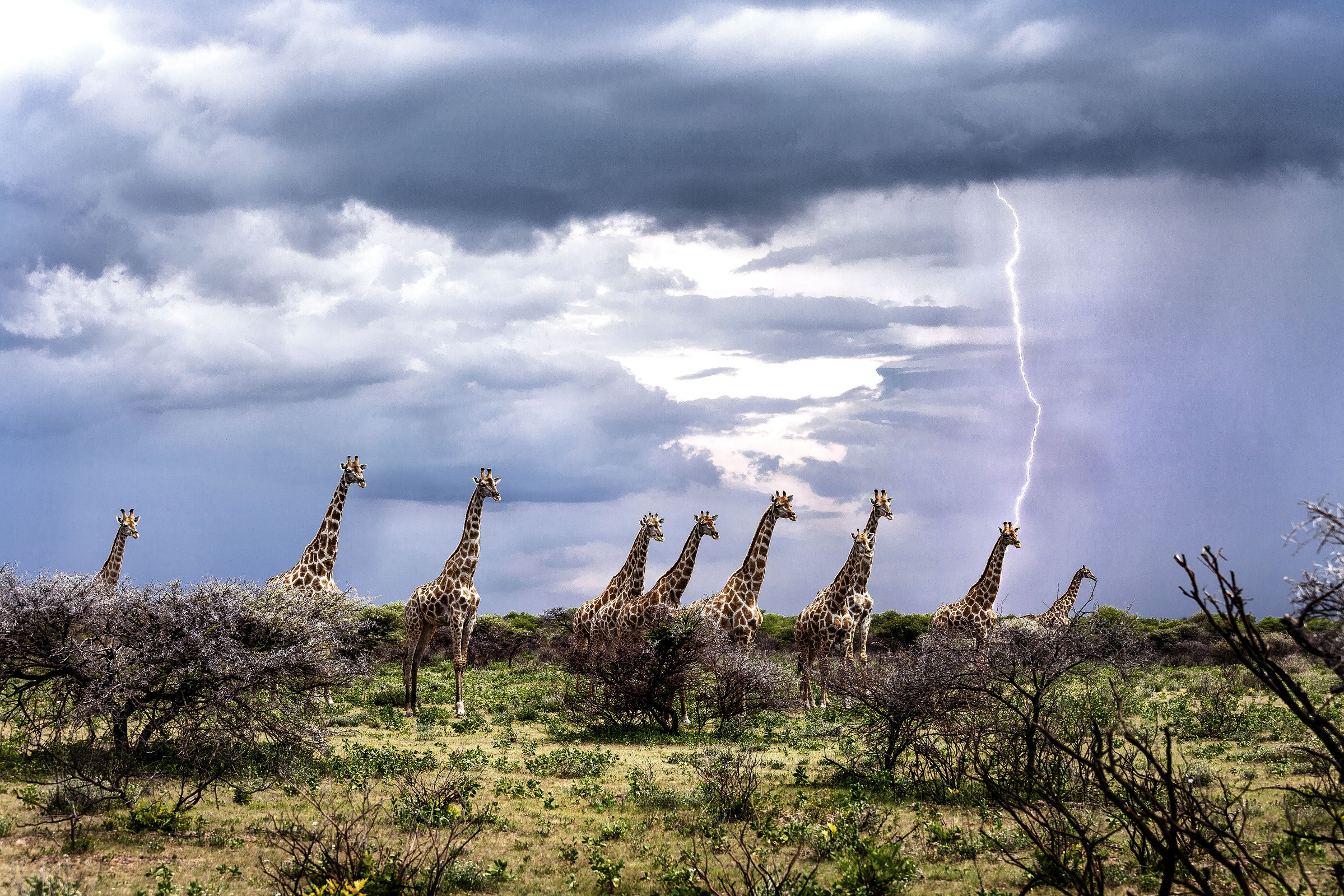 lucky escape for giraffe who narrowly missed being struck by lightning