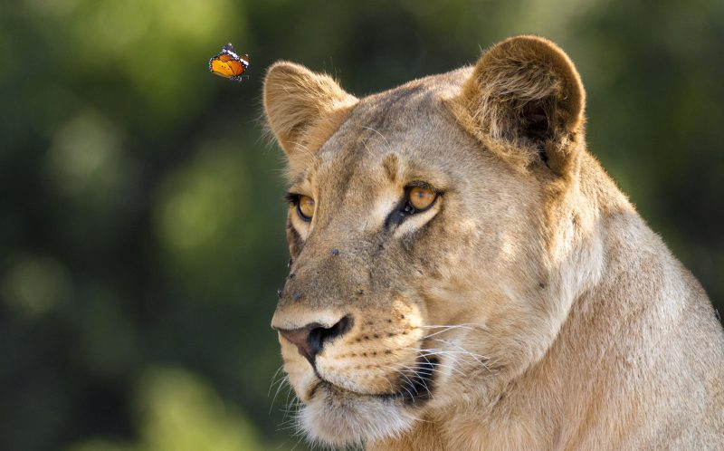 WILLIAM STEEL / CATERS NEWS - A daring butterfly risked being snapped up for dinner when it flew dangerously close to a lion.