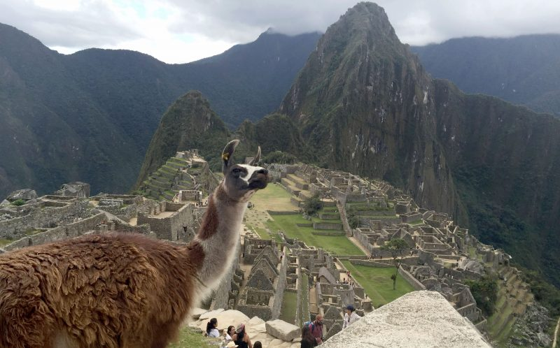 ROSE LAMBERT/CATERS NEWS - The llama slowly turning around to photobomb the couple's moment at Machu Picchu.