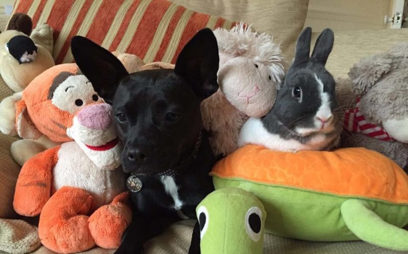 PIC FROM MERCURY PRESS (PICTURED: Frankie the French bulldog and Dylan the rabbit surrounded by soft toys.