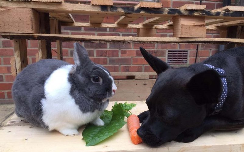 A French bulldog and bunny love nothing more than to cuddle.