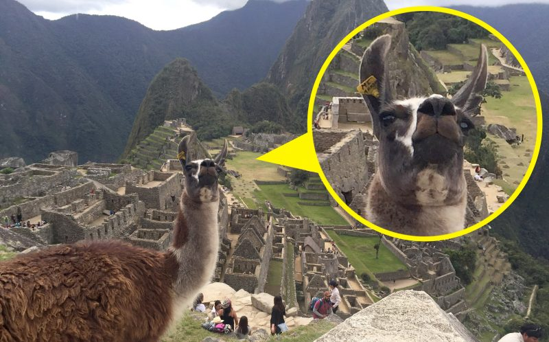 ROSE LAMBERT/CATERS NEWS - The llama photobombing the picture at Machu Picchu.