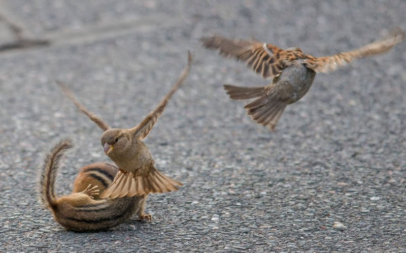 As the chipmunk fight continues in Glastonbury, Connecticut, two sparrows join in on the action.