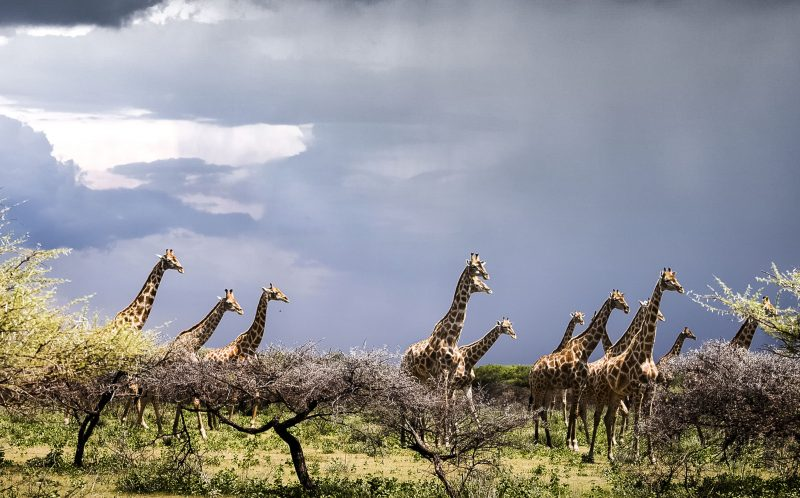 PIC BY JULIA SUNDUKOVA/CATERS NEWS: (PICTURED: A herd of Giraffes against the stunning back drop of the Namibian sky.) - This is the moment a giraffe had a lucky escape - as he narrowly missed being struck by a bolt of LIGHTNING. A group of 10 giraffes were trotting across the African plane in the middle of an intense thunderstorm when the electric bolt shot out of the sky - heading directly for one unlucky giraffe. The incredible moment was caught on camera by Russian photographer Julia Sundukova, during the storm at Etosha Park in Namibia. The dramatic backdrop of the dark, cloudy sky looming over the giraffes gave Julia an ominous feeling - and she was left gobsmacked when she saw a bright bolt of lightning shoot out of the sky, appearing to strike one of the pack. SEE CATERS COPY.