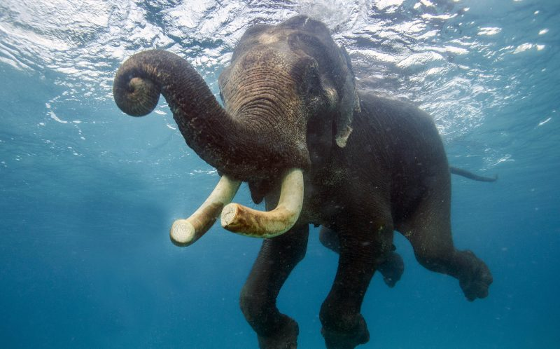 MIKHAIL KOROSTELEV/ CATERS NEWS: Rajan the elephant learnt swimming a a calf.