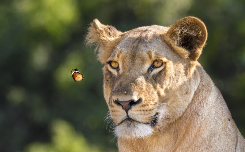WILLIAM STEEL / CATERS NEWS - The gentle butterfly soon flew away after she realized the lion was annoyed.