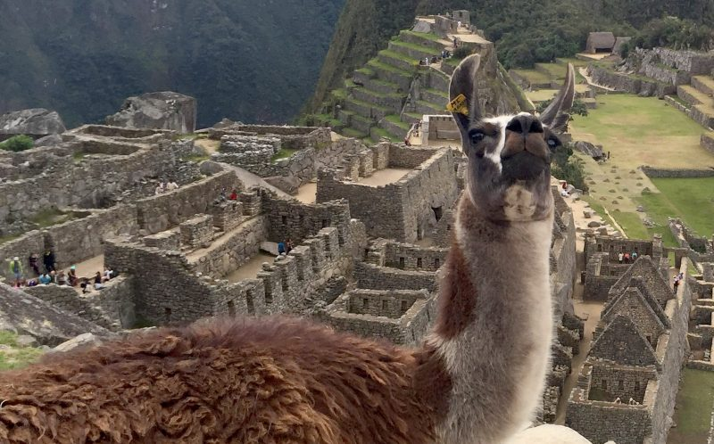 ROSE LAMBERT/CATERS NEWS - This is the hilarious moment one mans romantic proposal was upstaged by a LLAMA at Machu Picchu.