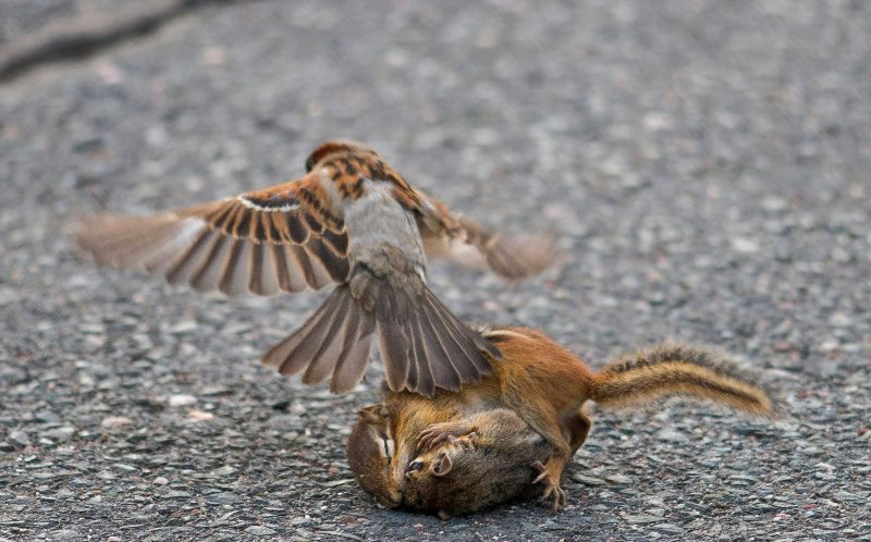 The sparrow intervenes as then two chipmunks are engaged in the tussle