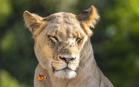 WILLIAM STEEL / CATERS NEWS - The butterfly almost forced the lion to sneeze.