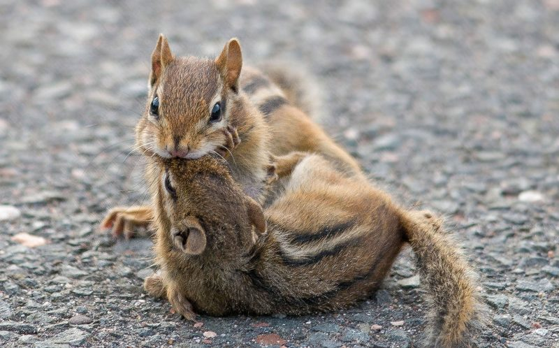 Two chipmunks engage in a fierce battle in the suburbs of Glastonbury, Connecticut, USA