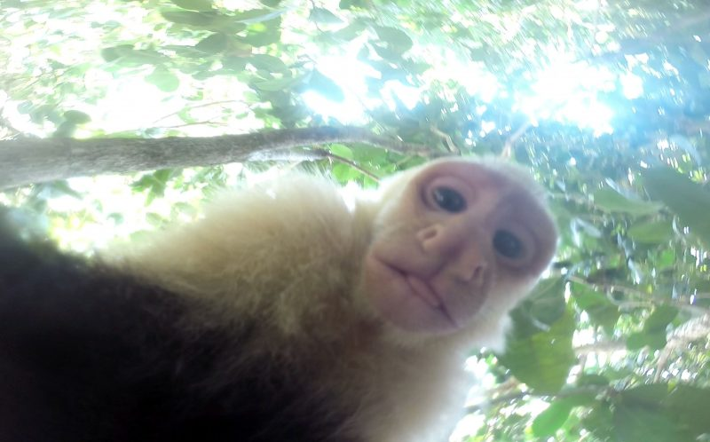 PIC FROM COLE WEBER/CATERS NEWS - (PICTURED: Monkeys playing with a GoPro capturing hilarious footage.) - These cheeky monkeys filming selfies after stealing a GoPro will crack you up. The white faced capuchin monkeys were hanging out in Manuel Antonia National Park, in Costa Rica, when they discovered a GoPro sitting in a tree. One monkeys curiosity got the better of him, and he nabbed the camera to show his pals - and ended up filming hilarious selfies as the confused chimps tried to figure out the mysterious technology. The hilarious footage of the mischievous monkeys was taken on high school student Cole Webers GoPro, after he left it in a tree in the hope of getting some stealthy video. SEE CATERS COPY.