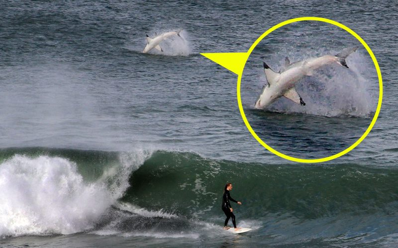 PIC FROM NATHAN MCLAREN/ CATERS NEWS - A massive great white shark was caught on camera bursting through the waves just metres behind surfer Daniel Caban in New South Wales, Australia.