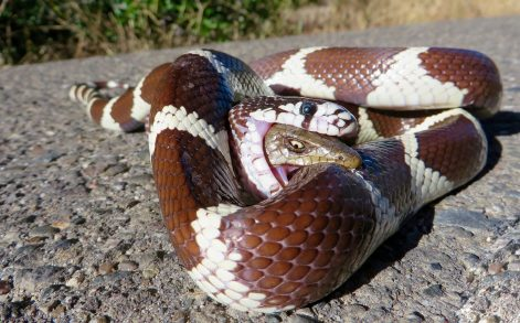 BRYAN SNYDER/ CATERS NEWS - The Lizard biting back at the snake in Santa Ynez Valley, CA.