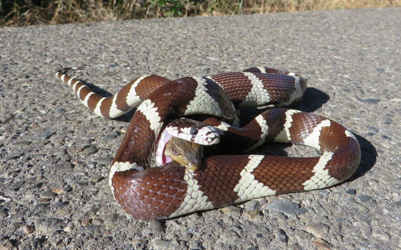 BRYAN SNYDER/ CATERS NEWS - The brave reptile gave a good fight to the kingsnake in Santa Ynez Valley, CA.