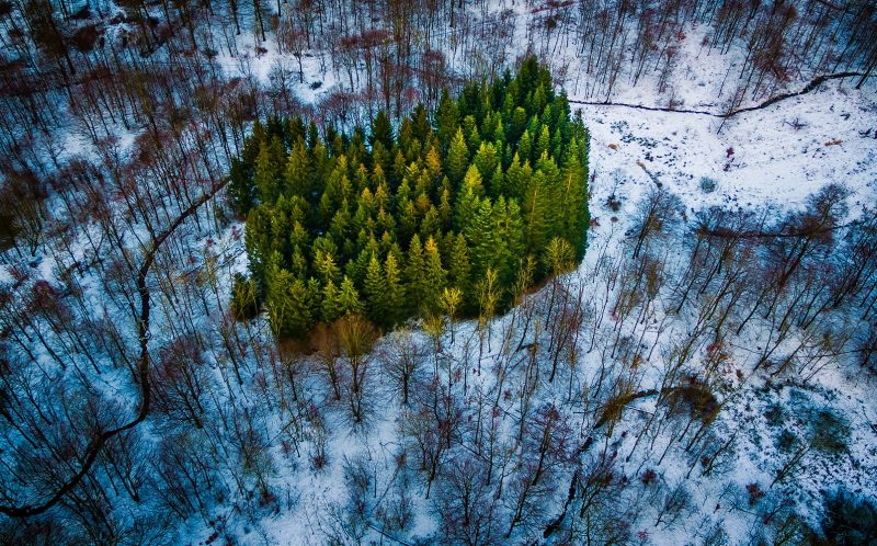 MICHAEL RASMUSSEN/CATERS NEWS - A patch of pines in the middle of the forest in Naestved, Denmark.