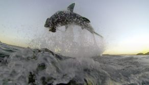 PIC BY RYAN JOHNSON/ CATERS NEWS - (PICTURED: The shark breaching out of the water) - These sharks certainly know how to cause a splash as they turn up for dinner. Marine scientist Ryan Johnsons videos show great white sharks bursting through the oceans surface to attack a seal decoy. The research footage captures every single aspect of an attack from above and below, and show the sharks shooting through the water and leaping into the air with their jaws wide open. Ryan, 39, took the videos during the sharks hunting season around Mossel Bays Seal Island in South Africa. SEE CATERS COPY.