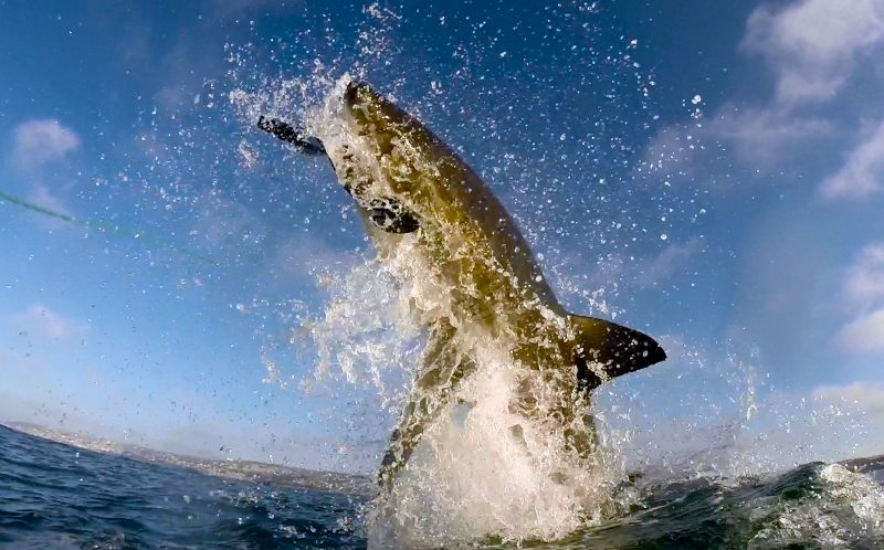PIC BY RYAN JOHNSON/ CATERS NEWS - (PICTURED: The shark breach out of the water) - These sharks certainly know how to cause a splash as they turn up for dinner. Marine scientist Ryan Johnsons videos show great white sharks bursting through the oceans surface to attack a seal decoy. The research footage captures every single aspect of an attack from above and below, and show the sharks shooting through the water and leaping into the air with their jaws wide open. Ryan, 39, took the videos during the sharks hunting season around Mossel Bays Seal Island in South Africa. SEE CATERS COPY.