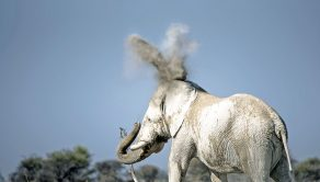 PIC BY ANJA DENKER/CATERS NEWS - (PICTURED: A cloud of dust forms into the shape of bunny ears as it travels over the elephants head and body.) - Elephants are already known for their big ears - so image how this one felt when a dust cloud gave him BUNNY EARS. The elephant bull was just enjoying a stroll in Etosha National Park, Namibia, South Africa, when the dust from his footsteps created the fantastic illusion. Keen photographer Anja Denker caught the moment, which the elephant was seemingly unfazed by. Anja, 48, who lives in Namibia, was on a weeks trip to the park when she stumbled across the elephant. SEE CATERS COPY.