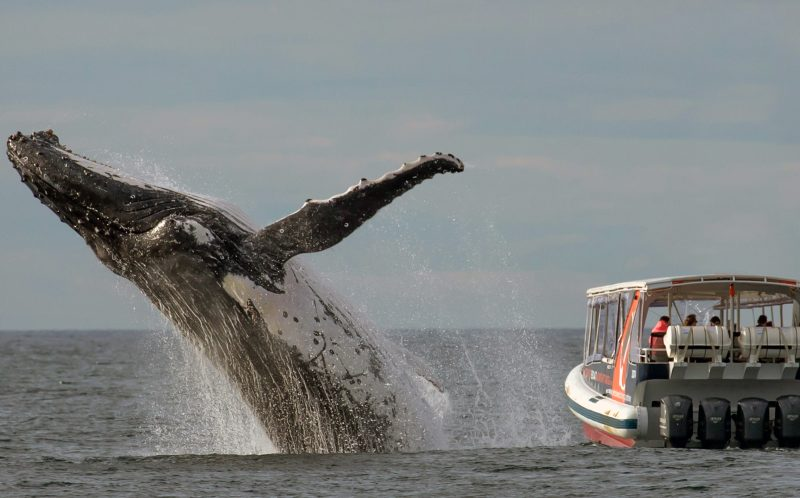 PIC FROM JOHN GOODRIDGE/ CATERS NEWS - These whale watchers appear to have missed the boat when it comes to sighting the magnificent beasts as they are all looking the WRONG WAY when a massive humpback breaches right beside them. The huge marine mammal dwarfs the sightseeing boat which looks like it is just metres from the 40-tonne beast bursting from the waves to the left of the photograph taken yesterday (TUES). British amateur wildlife photographer and whale enthusiast John Goodridge took this amazing shot from another boat as hopeful tourists toured the waters just off the coast of Sydney, Australia, to catch a glimpse of whales during the annual winter migration from south to north. Yorkshireman John, 52, was just 300 yards away when he took the perfectly timed picture. SEE CATERS COPY
