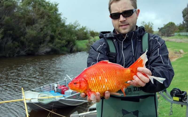 PIC FROM CATERS NEWS - Its GOLD-zilla, massive TWO KILOGRAM mutations of the common house pet the goldfish are prowling Australian rivers and theyre growing faster than anywhere else in the world. Usually the former fairground favourites weigh a few grams but researchers have realised something fishy is going on in the Vasse River, south of Perth, in Western Australia. Special teams have been using similar tagging technology used to track GREAT WHITE SHARKS to monitor the growing goldfish with acoustic tags which ping monitoring stations along the river with sound waves. Teams have been stunned by the size of the specimens theyve managed to pluck from the water and think larger fish could be out there. SEE CATERS COPY