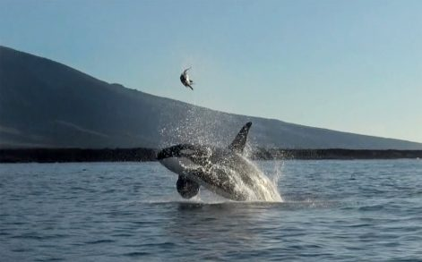PIC BY FERNANDO DIEZ/ CATERS NEWS - (PICTURED: The turtle being flipped up in the air by the Orca) - This is the moment an Orca teases its prey by tossing it into the air - before EATING it. The killer whale threw the poor turtle metres high in the Bolivar Channel, Ecuador, and played with it for several minutes before it met its fate. Delighted Fernando Diez, 33, never imagined hed see the event, even though its not uncommon for Orcas to tease their prey in this way. SEE CATERS COPY.