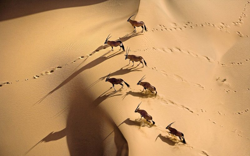 ***DIRECT SALES ONLY***PIC BY MICHAEL POLIZA/CATERS NEWS - (PICTURED: A Gemsbok herd in Namibia. Gemsbok are able to survive in even the harshest conditions thanks to an intricate network of blood vessels in the nose which cool down the blood supplied to the brain.) - This unique birds eye collection of amazing African wildlife from German photographer Michael Poliza, 58 was taken over several trips he made across the continent in the last 10 years. Photographer and travel designer, Michael moved to Cape Town, South Africa from Hamburg about 13 years ago and just started to goof around with his camera on safari. Michael challenged himself to take photos of lions and leopards with a difference so when he said the opportunity arose to go airborne he seized it to show animals from an alternative point of view. SEE CATERS COPY. **UK USE AND SALES ONLY*****EDITORIAL USE ONLY***