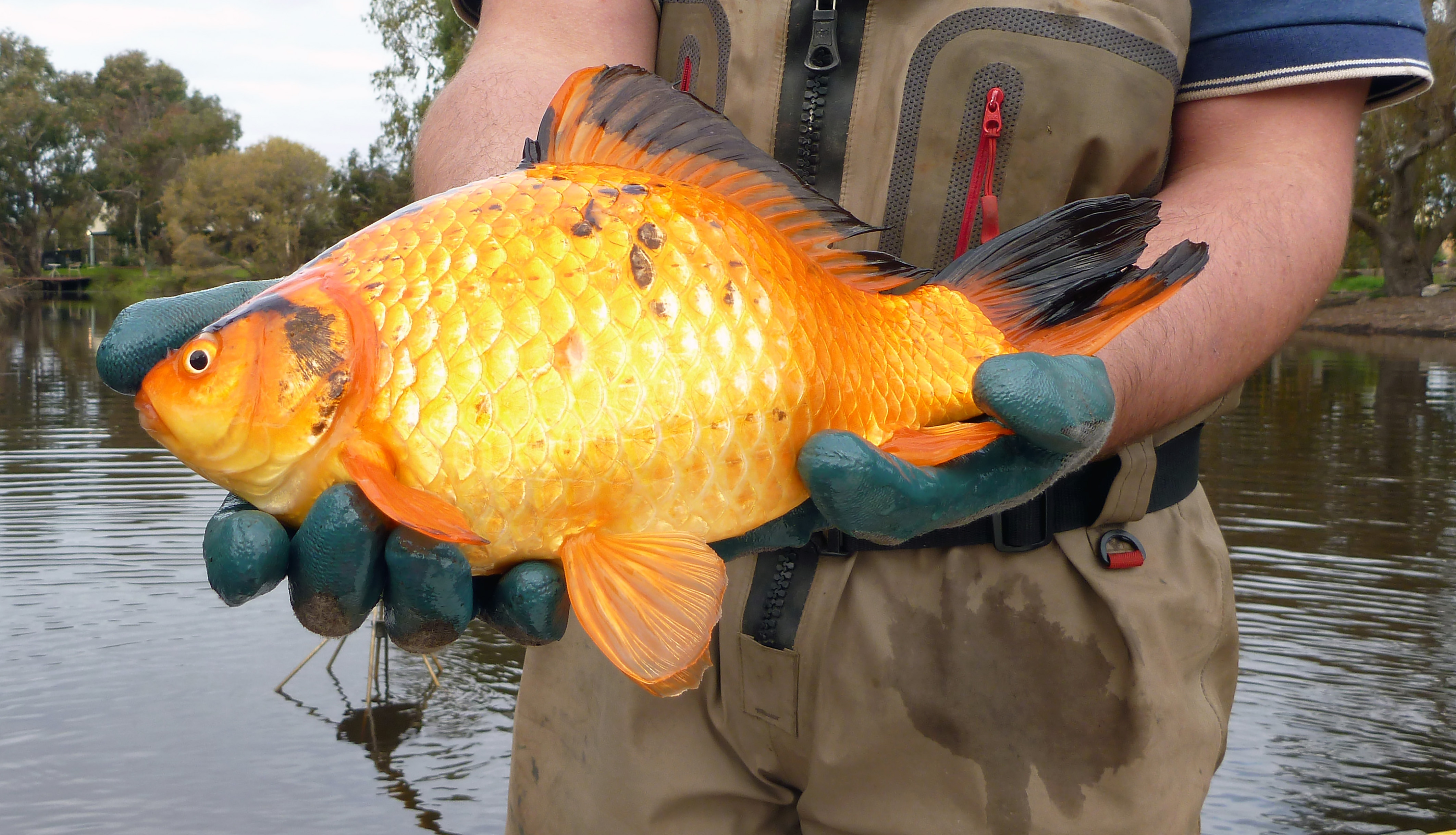 Gold Zilla Massive Goldfish Growing Faster Than