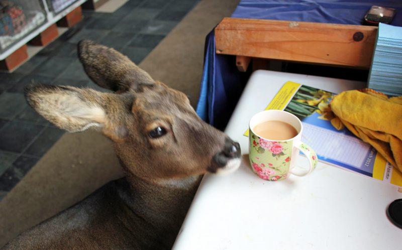 PIC FROM CATERS NEWS - (PICTURED: Bramble, the pet deer looks for a snack. ) - Oh deer! This adorable stag thinks its a DOG - from sleeping on the owners bed to curling up in front of the TV. Bramble lives in Nuneaton, Warwickshire, with owner Geoff Grewcock, who rescued the adorable deer when it was just two weeks old. Now aged 10, Bramble is so comfortable with Geoff he raids the fridge, gazes out of the window and has even been busted catching 40 winks on the bed. SEE CATERS COPY.