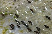 ***DIRECT SALES ONLY***PIC BY MICHAEL POLIZA/CATERS NEWS - (PICTURED: Cattle Egrets above Buffaloes in the Okavango Delta, Botswana ) - This unique birds eye collection of amazing African wildlife from German photographer Michael Poliza, 58 was taken over several trips he made across the continent in the last 10 years. Photographer and travel designer, Michael moved to Cape Town, South Africa from Hamburg about 13 years ago and just started to goof around with his camera on safari. Michael challenged himself to take photos of lions and leopards with a difference so when he said the opportunity arose to go airborne he seized it to show animals from an alternative point of view.  SEE CATERS COPY. **UK USE AND SALES ONLY*****EDITORIAL USE ONLY***