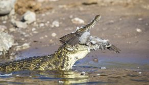 PIC BY WIM VAN DEN HEEVER / CATERS NEWS - (PICTURED: An unfortunate Dove is gobbled down by a hungry Crocodile.) - This sorry dove got more than it bargained for when it flew a little too low over the Chobe River in Botswana and became a snack for this crocodile. The satisfied croc could not conceal his meal, and ended up covered in the doves feathers. The feathery feast was captured by professional wildlife photographer Wim van den Heever from Pertoria, South Africa, whilst he was leading a photographic tour. The tour, which was via boat along the river, came barely four metres from the crocodile when the dove met its fate enabling Wim, 43, to get these amazing shots. - SEE CATERS COPY