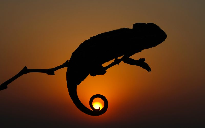 PIC BY MEHMET KARACA/CATERS NEWS - (PICTURED: A Chameleon silhouetted against the setting sun, it's tail wrapping around it almost perfectly ) -  These picture perfect shots show the incredible moment a photographer captured a chameleon's tail coiled perfectly around the sun. The once in a lifetime shot is the result of a perfectly timed photo by Photographer, Mehmet Karaca, 31, from Turkey. Mehmet intended to capture the chameleon sitting in the tree and was shocked when the obviously photogenic chameleon coiled its tail in a perfect circle around the setting sun. SEE CATERS COPY.