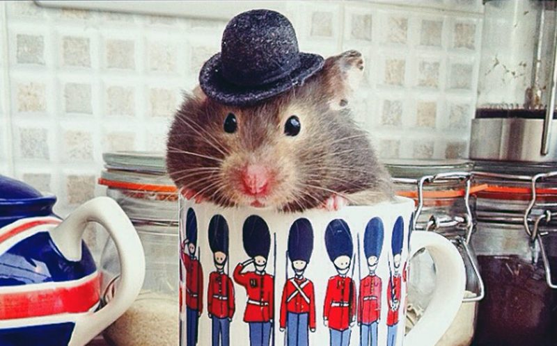 PIC BY EMMA TOWNSEND / CATERS NEWS - (PICTURED: Tiddly with his hat on) - This hipster hamster is shooting to Instagram fame with her edgy style and characteristic bowler hat. Tiddly is a hamster of many talents, turning her hand to painting, gardening and even playing the saxophone! Owner Emma Townsend, 22, has just graduated from Arts University, Bournemouth with a degree in Animation. Originally from Bath, Emma started taking photos of Tiddly for a bit of fun, but as her Instagram following has ballooned she was inspired to photograph Tiddly in a range of scenarios and even hopes to create a TV series based on the hamster's activities. Tiddly is a year and a half old and has been Emma's companion throughout her time at university and is now living back home with her in Bath. SEE CATERS COPY.