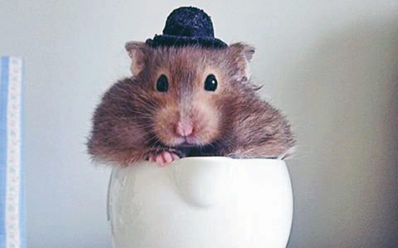 PIC BY EMMA TOWNSEND / CATERS NEWS - (PICTURED: Tiddly) - This hipster hamster is shooting to Instagram fame with her edgy style and characteristic bowler hat. Tiddly is a hamster of many talents, turning her hand to painting, gardening and even playing the saxophone! Owner Emma Townsend, 22, has just graduated from Arts University, Bournemouth with a degree in Animation. Originally from Bath, Emma started taking photos of Tiddly for a bit of fun, but as her Instagram following has ballooned she was inspired to photograph Tiddly in a range of scenarios and even hopes to create a TV series based on the hamster's activities. Tiddly is a year and a half old and has been Emma's companion throughout her time at university and is now living back home with her in Bath. SEE CATERS COPY.